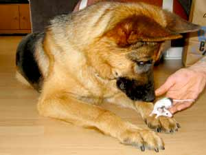 German shepherd playing with mouse