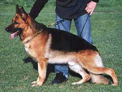 german shepherds stud dog, picture of a beautiful balck and tan german shepherds male
